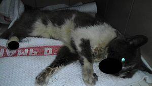 Trouvé chat blessé