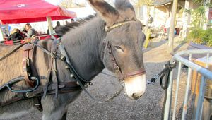 Saint-Martin-des-Bois : Ugolin,la star du Marché de Noël