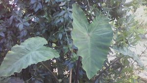 "Colocasia "" Black stem """