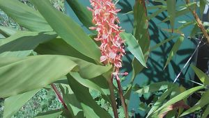 "Hedychium densiflorum "" Assam orange"""