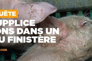 L214 : scandale dans un élevage de cochons à Pouldreuzic, près de Quimper