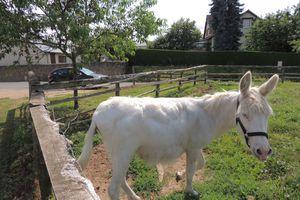 Mon âne est-il gros ? Obèse ? ou en bon état?