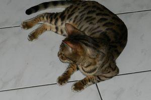 Un chat bavard par intermittence