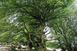 Hêtraie Pic du Mondarrain ( Pyrénées-Atlantiques 64 )