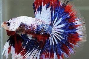 1er avril, découvrez le poisson citoyen français!!!