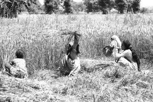 Wheat Cutting in Pakistan
