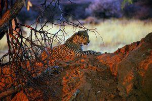 Afrikas Grosskatzen - Afri Cat