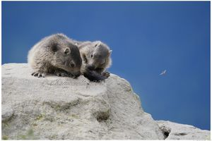 marmottes suite 6