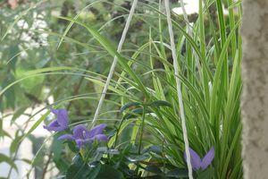 Joli Carex