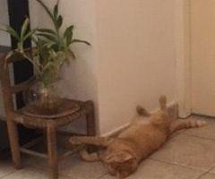 GATSBY le Magnifique - chat mâle - castré - adopté à 1 an