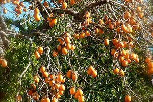 Au coeur de l'automne : Les kakis 柿