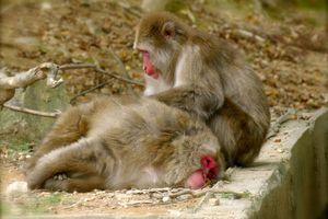 Kyôto : Arashiyama : Iwatayama ou l'insolite montagne des singes !