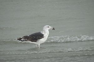 goeland marin (baie de somme)