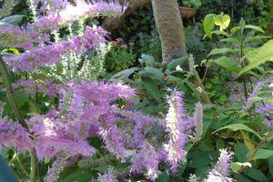 Mes plantes : Elsholtzia stauntonii  (Menthe en arbre )
