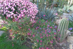 Mon chrysanthème  rose est en fleurs en ce moment .......