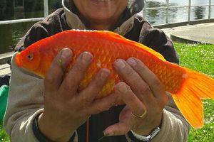 Pêche carassins