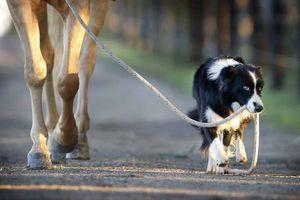 Le cavalier, son cheval et son chien