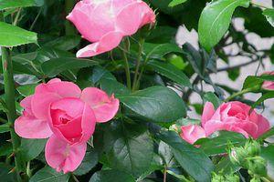 Rosenschön