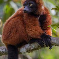 Le parc Masoala et le Red Ruffed Lumérien
