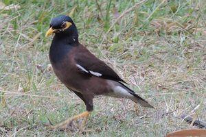 Martin triste et autres oiseaux à La Réunion