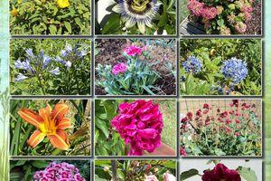 Fleurs de Juin au jardin