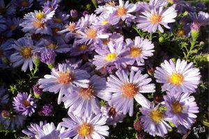 Asters du jardin...