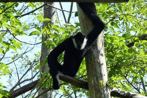 Le gibbon à favoris blancs