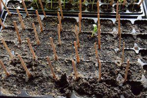 Semis de cucurbitacées : le fiasco !