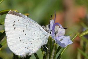 L'azuré du nerprun, un papillon bleu apprécié des fourmis