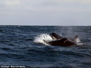 Disabled killer whale with missing fins survives with the help of family who hunt for its food