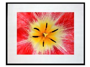 photo-de-fleur-tulipe-FL0236