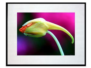 photo-de-fleur-de-capucine-FL0604