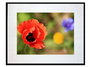 photo-de-fleur-de-coquelicot-FL0877