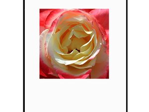 photo-coeur-de-rose-FL0950