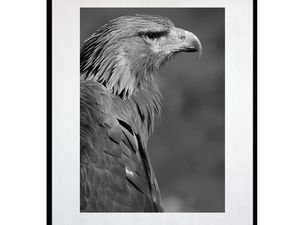 photo-de-jeune-aigle-AN2012