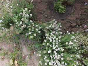 Ragoût de fèves, petits pois, asperges blanches du blayais
