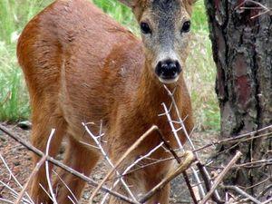 Hypothèse concernant la mythique licorne de la forêt hercynienne