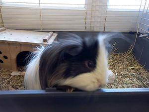 Sunny our Guinea pig