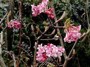 Viorne d'hiver, Viburnum x bodnantense