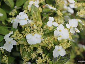 hydrangea scandens 'Variegata' un petit panaché très odorant, floraison précoce en mai , photos prises à Shamrock le  10 mai
