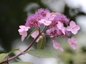 espèce villosa ,sous section asperae,Chine