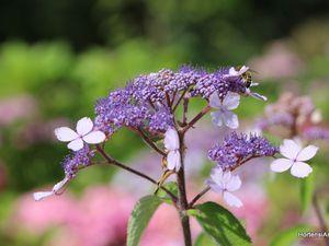 villosa 'The Ditch' en pleine floraison