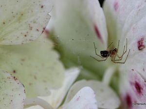 Notre amie l'araignée tisse sa toile. (fleur stérile de H. 'Mariesii Perfecta')