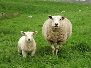 Le mouton noir qui voulait tricoter