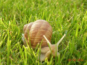 Les escargots du champ à l'assiette