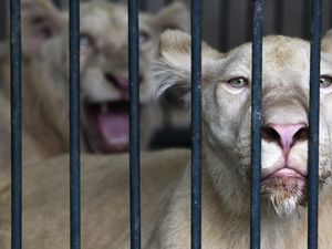 La police a lundi découvert lundi plus de 200 animaux sauvages vivants, dont quatorze lions blancs, des tortues et des singes, lors d'une intervention dans une maison de Bangkok.  Photo: Reuters/Chaiwat Subprasom