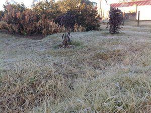 Plantes brûlées par le froid intense des Hauts Plateaux .on est bien en hiver ! ! !