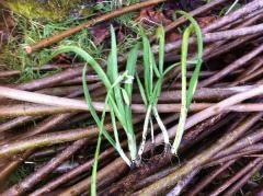 Allium Triquetrum, ail triquètre dans tous ses états