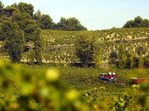 Vendanges à Rasteau