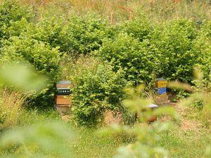 Les ruches sont disposées pour recevoir l'ombre des noisetiers, aux horaires les plus ensoleillés